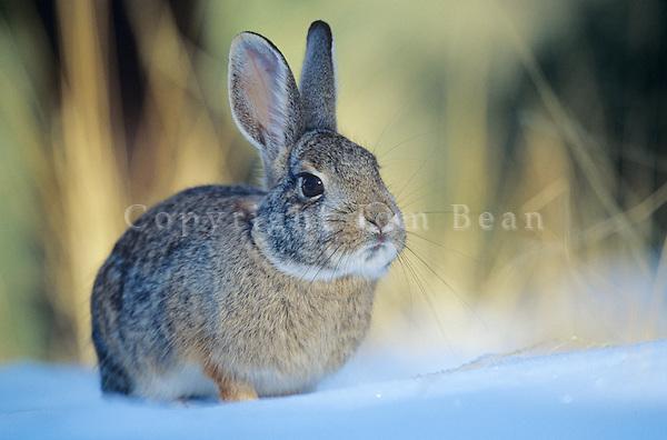 Cottontail Rabbit in the snow, winter near Flagstaff, Arizona, AGPix_0187.