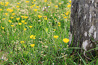 Beautiful buttercup flowers grown near the bark of a tree in cades cove in the great smoky mountains national park, America.