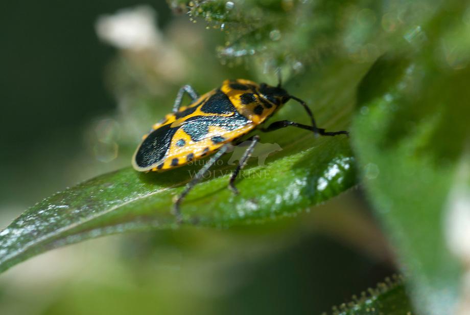 Zuidelijke koolschildwants (Eurydema ventralis)