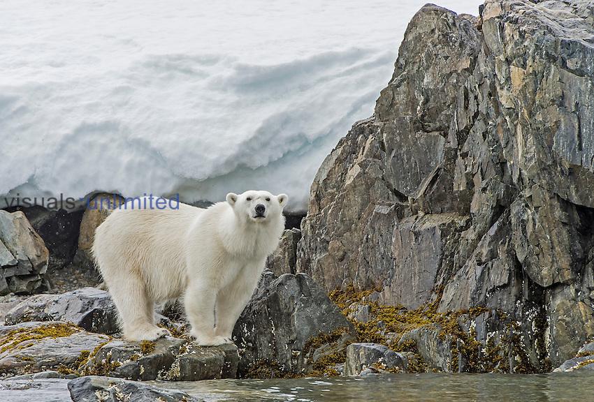 Polar Bear (Ursus maritimus), Spitsbergen Island, Svalbard, Norway