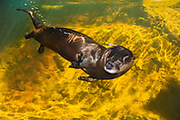North American river otter, northern river otter, or Canadian river otter, Lontra canadensis, swimming underwater, captive