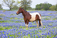 A mare enjoys a blissful morning in a sea of bluebonnets just outside Marble Falls, Texas.
