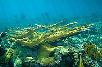 Stand of Elkhorn Coral in Cuba