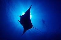 diver and reef manta ray, Manta alfredi, Big Island of Hawaii, USA, Pacific Ocean