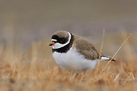 Adult Semipalmated Plover (Charadrius semipalmatus) on the breeding grounds. Barrow, Alaska. June.