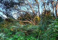 France, Manche (50), Vauville, Jardin botanique du château de Vauville, eucalyptus (Eucalyptus pauciflora), fougères arborescentes, vipérine des Canaries (Echium pininana), camélia en fleurs