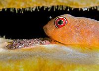 red clingfish, Arcos rubiginosus, guarding its eggs, Bonaire, ABC Islands, Netherlands Antilles, Caribbean Sea, Atlantic Ocean