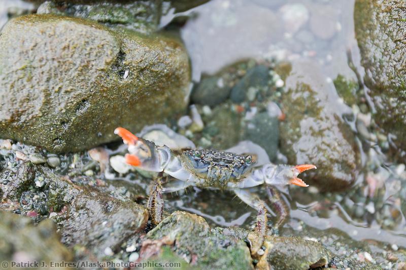 Crab, Costa Rica, Central America