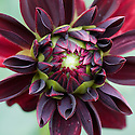 Dahlia 'Arabian Night' (syn. 'Arabian Knight'), mid August.