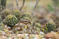 Lesser Nighthawk (Chordeiles acutipennis), adult on day roost, Laredo, Webb County, South Texas, USA