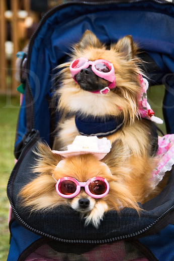 Dogs dressed up in glamorous fashion with pink sunglasses and white hats, purebred miniature pomeranian pooches being pushed around in a blue stroller.