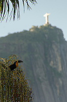 Christ the Redeemer seen from Rio de Janeiro Botanic Garden point of view - local wildlife, toucan eats fruits.
