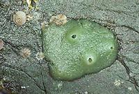 Brotkrumenschwamm, Brotkrumen-Schwamm, Halichondria panicea, breadcrumb sponge