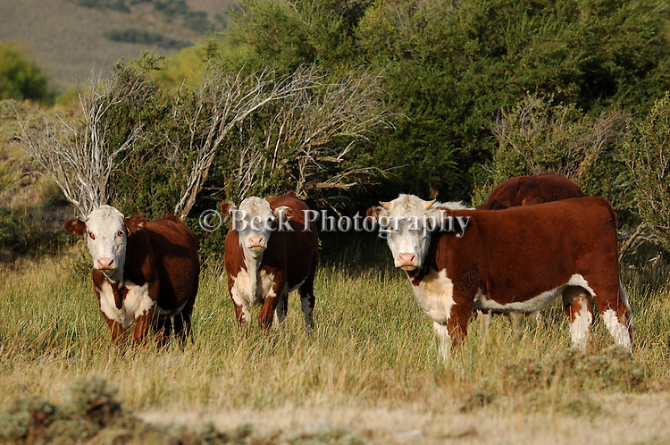 CATTLE GRAZING IN THE SUMMER