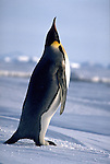 Emperor Penguins point to the sky when vocalizing