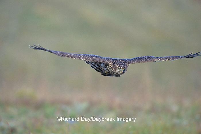 00785-00320 Northern Goshawk (Accipiter gentilis) immature in flight,    CO