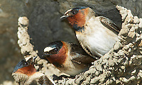 Three Cliff Swallows (Petrochelidon pyrrhonota) in their nest made of mud