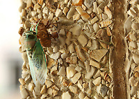 At MSU's Bost Extension Center, a cicada rests after molting its exoskeleton. The insect prepares to join the campus chorus signaling that summer's end is near.<br />