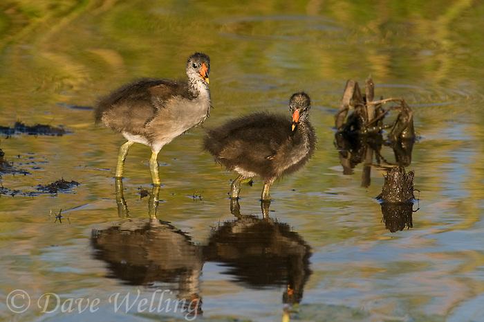 559500017 common gallinules gallinula galeata or common moorhens gallinula chloropus wild texas.Chicks in Pond.Anahuac National Wildlife Refuge, Texas