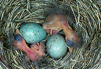Amsel, Eier, Ei, Gelege und frisch geschlüpfte Küken im Nest, Schwarzdrossel, Schwarz-Drossel, Drossel, Turdus merula, blackbird