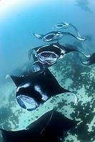 reef manta ray, Manta alfredi, mass feeding on plankton, Maldives, Laccadive Sea, Indian Ocean