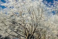 Frost, Bigleaf Maple
