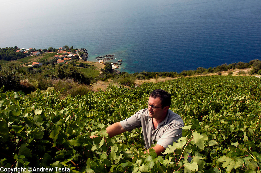 CROATIA. Trstenik. August 2004..Kresimir Vuckovic, Manager of the Grgic Winery, inspects a vineyard on the slopes of the Peljesac Peninsula..©Andrew Testa for the New York Times