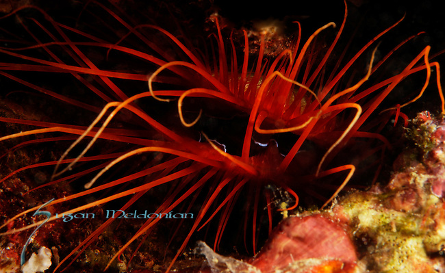 Electric Fileclam, Ctenoides ales, Anilao, Batangas, Philippines, Amazing underwater Photography