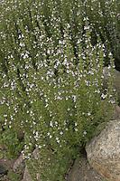 Berg-Bohnenkraut, Bergbohnenkraut, Winter-Bohnenkraut, Winter-Bohnenkraut, Bohnenkraut, Satureja montana, Winter Savory, Sarriette vivace