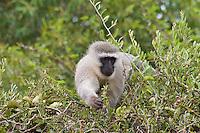Vervet Monkey, Mkuze Game Reserve, SA