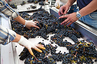 Sorting grapes by hand at famous Chateau Petrus wine estate at Pomerol in Bordeaux, France