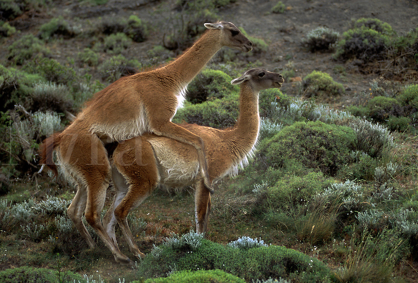 A MATING GUANACO (Lama guanicoe) couple in TORRES DEL PAINE NATIONAL PARK - PATAGONIA, CHILE