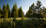 Idaho, North, Kootenai County, Kingston. Beargrass under a evening sky in the St. Joe District of the Idaho Panhandle National Forest in  summer.