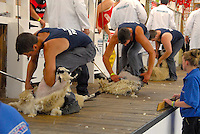 The junior shearing final.
