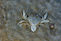 A crab lying on its back underwater in the shallows of a sandy beach, Brittany, France.