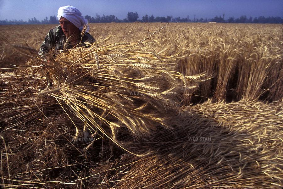 Egypt. Nile Delta. 1996... An Egyptian farmer harvests a wheat field with a sickle. ..Egypte. Delta du Nil. 1996. Un paysan egyptien moissonne un champ de ble avec une faucille.