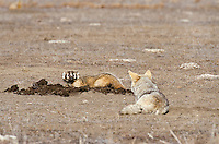 Coyote and American Badger hunting Black-tailed Prairie Dogs together in prairie dog colony Western U.S. Prairies, Summer.