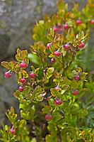Blaubeere, Blau-Beere, Heidelbeere, Heidel-Beere, Blüten, Vaccinium myrtillus, Bilberry, Blueberry, Whinberry, Whortleberry