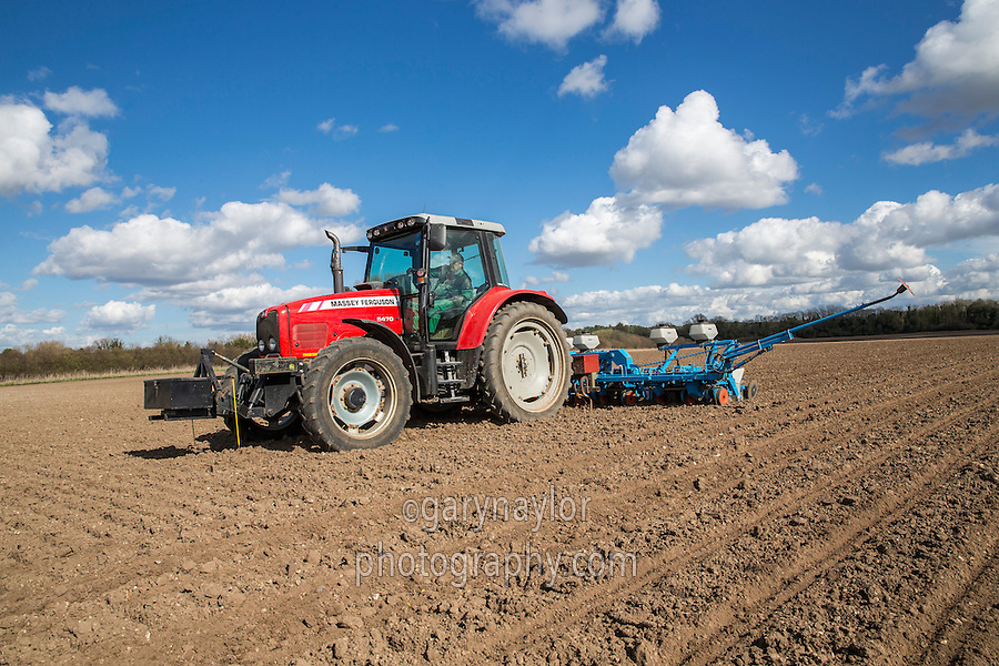 Drilling SY Muse Rhizomania-resistant sugar beet seed with 12 row Monsem drill - Norfolk, March