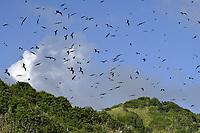 Magnificent Frigatebird - Fregata magnificens<br /> St Giles Island, Tobago