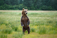 Alaska coastal brown (grizzly) bear stands in meadow of grass.  Lake Clark National Park Alaska.  Summer. <br /> <br /> Photo by Jeff Schultz/SchultzPhoto.com  (C) 2018  ALL RIGHTS RESERVED<br /> Amazing Views-- Into the wild photo tour 2018