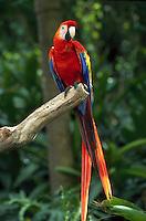 Parrot - multicolored pet.