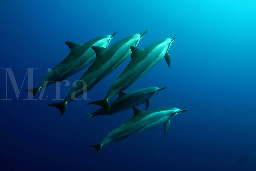 Spinner dolphin [Stenella longirostris] are found in large groups sometimes numbering in the thousands. Hawaii. pacific ocean endangered protected underwater Cetacea Odontoceti Delp