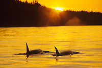 Orca or Killer Whale (Orcinus orca), Inside Passage.