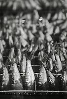 Europe/France/Bretagne/29/Finistère/Plovezet: Conserverie de Sardines Capitaine Cook / Sardines Label Rouge - Sur la Chaine d'ététage et d'éviscerage détail