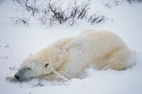 Polar bear (Ursus maritimus) resting in arctic snowstorm.