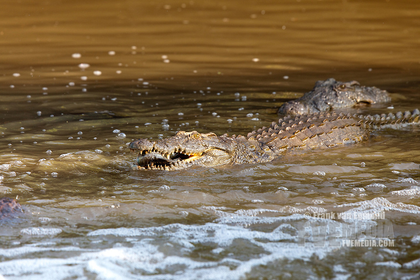 Nile Crocodile (Crocodylus niloticus) with Tilapia fish..The crocodiles gather where the stream narrows, waiting for fish to swim right into their mouths..Ndumo Game Reserve..Kwazulu-Natal, South Africa.