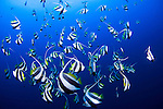 A school of schooling bannerfish, Heniochus diphreutes, Layang Layang, South China Sea, Sabah Province, Borneo Island, Malaysia, Pacific Island
