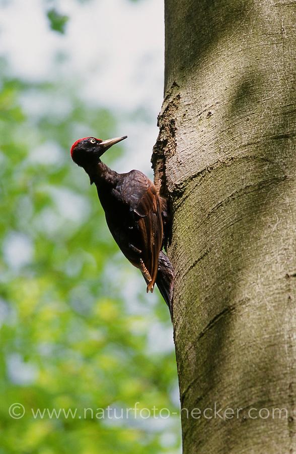 Schwarzspecht,  an Baumhöhle, Nest, Schwarz-Specht, Specht, Dryocopus martius, black woodpecker