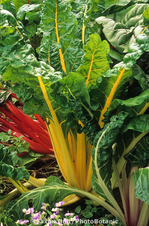 Chard 'Bright Lights', colorful vegetable foliage in organic garden